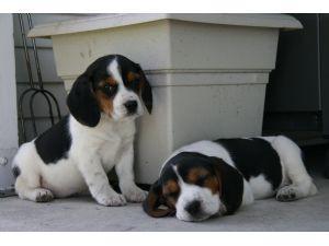 Muy bellos cachorros de beagle con pedigrí.