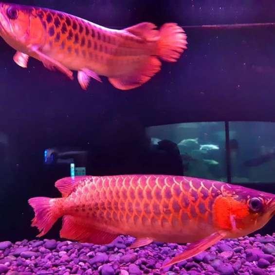Calidad asiática arowana fish para la venta