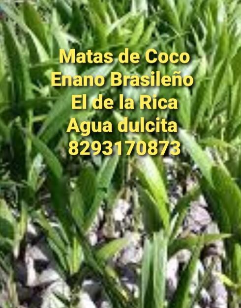 Matas de coco enano brasileño 8293170873